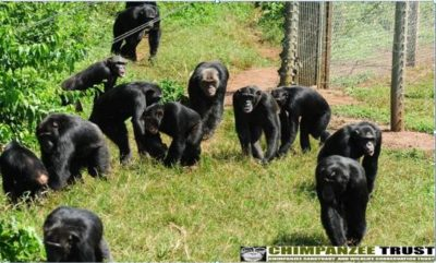 chimps-in-the-wild